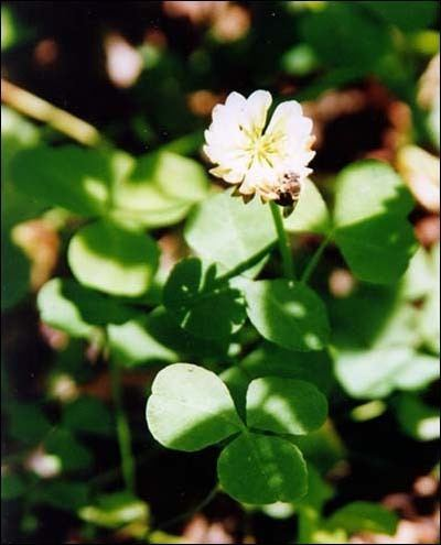 Trifolium stoloniferum USFWS Running Buffalo Clover Fact Sheet