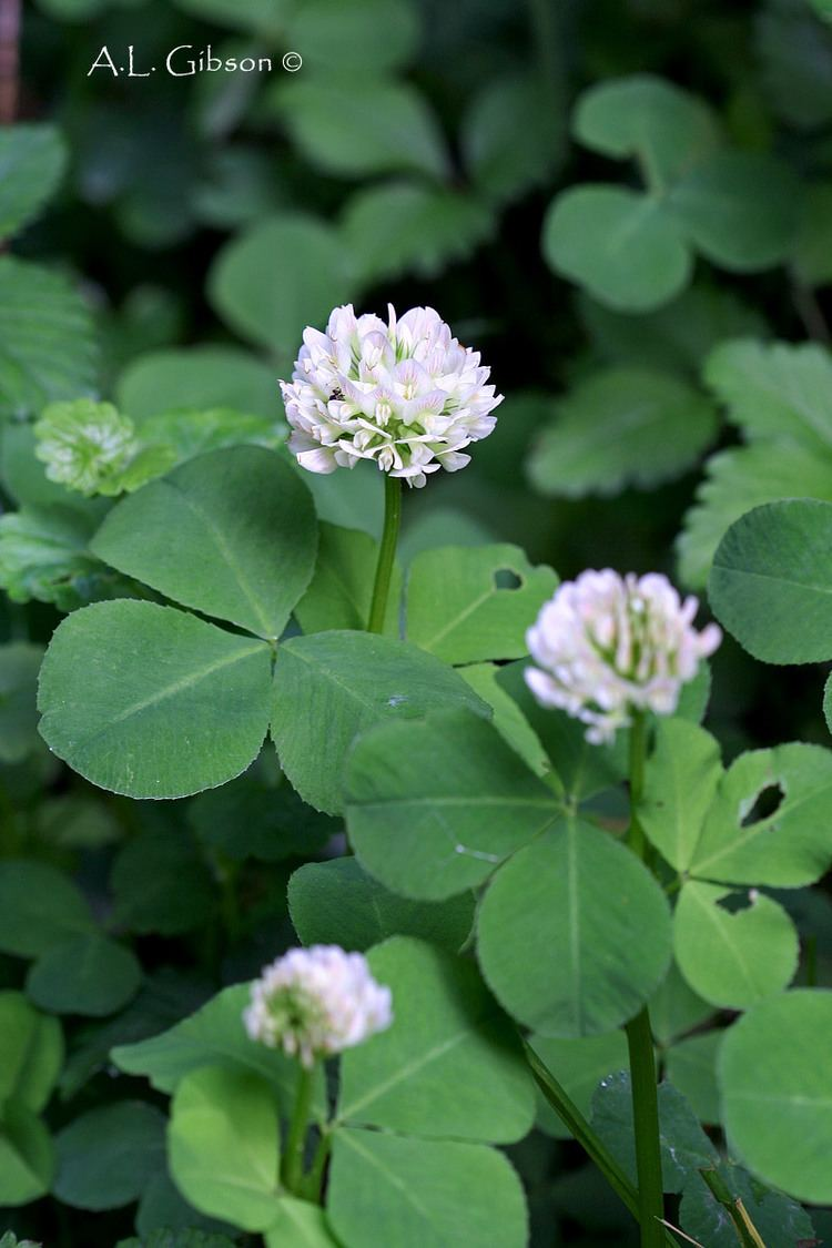 Trifolium stoloniferum The Buckeye Botanist Running Buffalo Clover Orchids and a Native