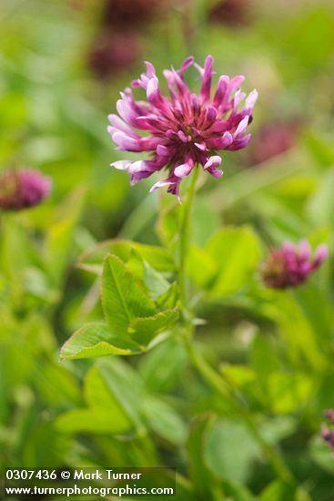 Trifolium wormskioldii httpswwwpnwflowerscomimagesplants0307436jpg