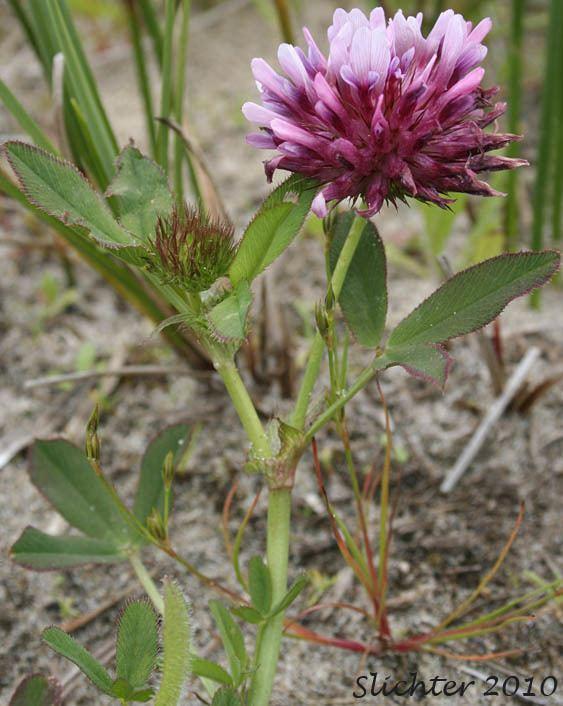 Trifolium wormskioldii Clover Cows Clover Salt Marsh Clover Trifolium wormskioldii