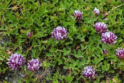 Trifolium wormskioldii Trifolium wormskioldii Mostly Natives Nursery