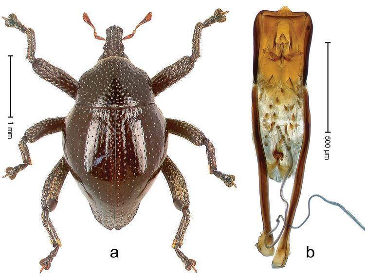 Trigonopterus bornensis