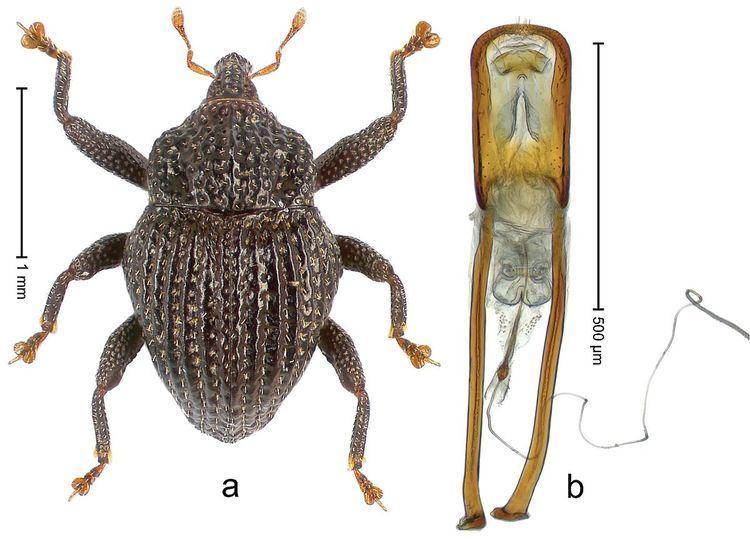 Trigonopterus lombokensis