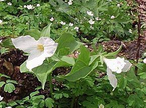 Trilliaceae httpsuploadwikimediaorgwikipediacommonsthu