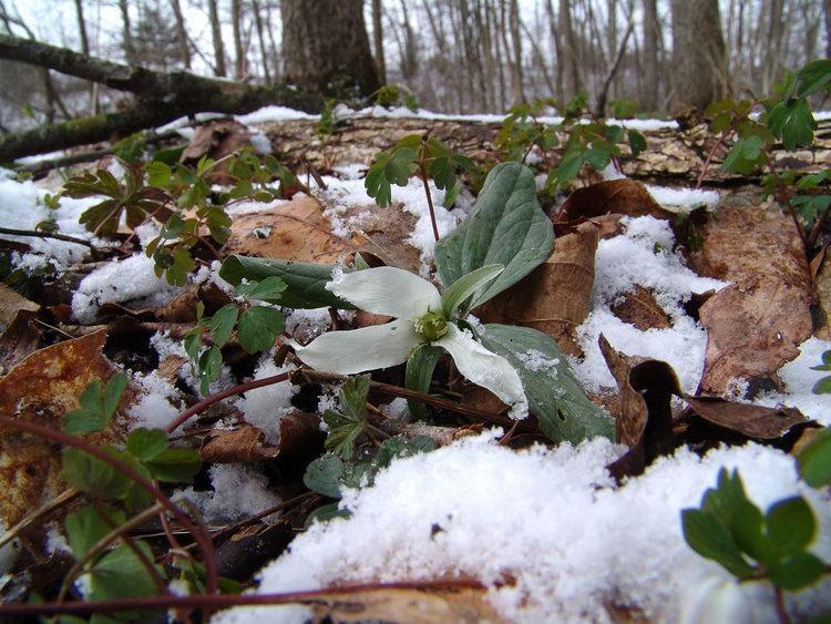 Trillium nivale Snow Trillium