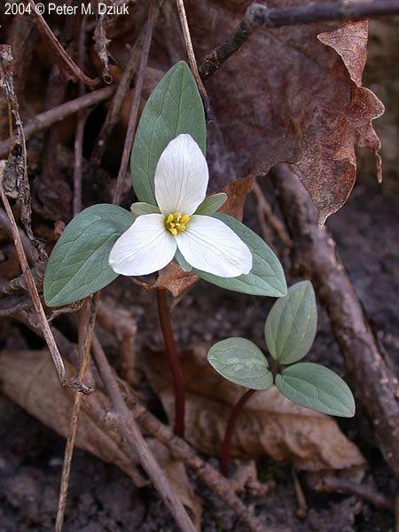 Trillium nivale wwwminnesotawildflowersinfoudatar9ndp23qpdtr
