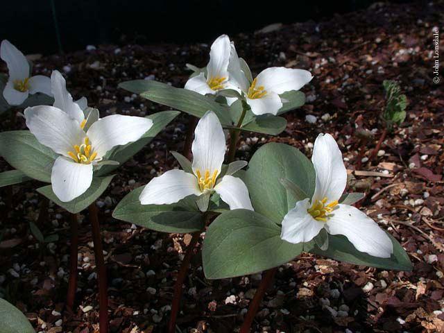 Trillium nivale Pacific Bulb Society Trillium Species Two