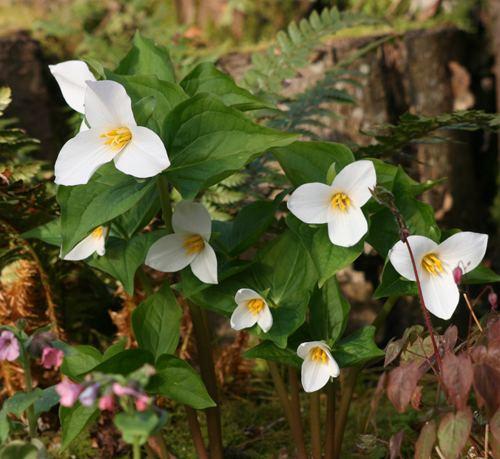 Trillium ovatum View Plant Great Plant Picks