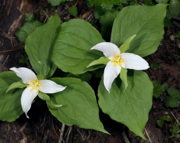 Trillium ovatum Trillium o ovatum Western Trillium aka Pacific Trillium aka Wake