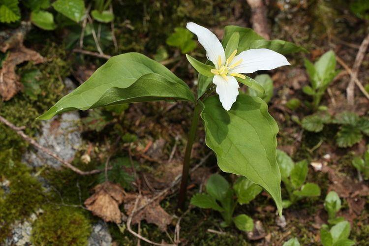 Trillium ovatum Trillium ovatum Wikipedia