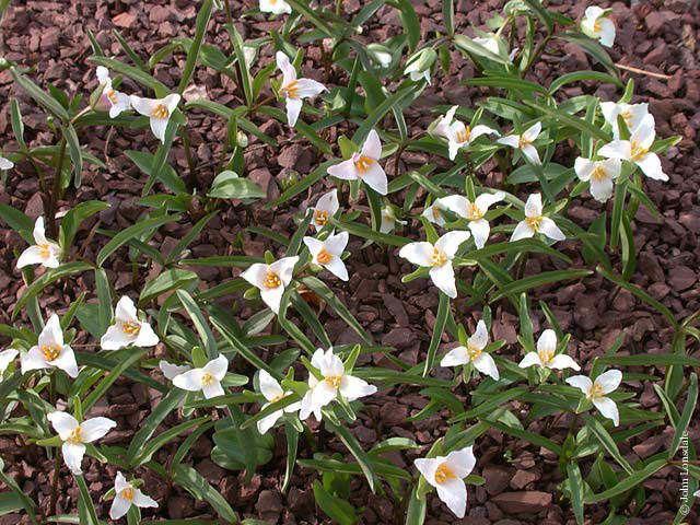 Trillium pusillum Pacific Bulb Society Trillium Species Two