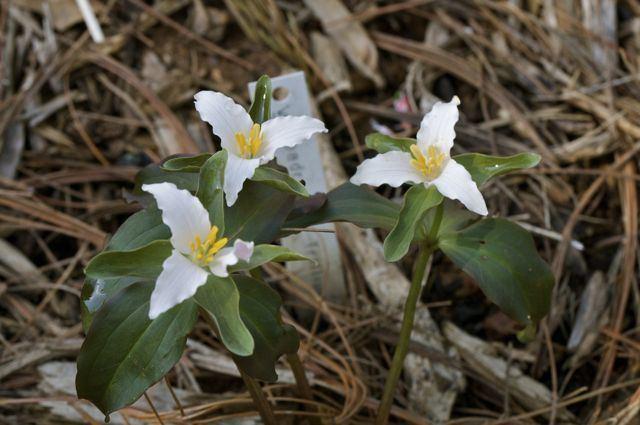 Trillium pusillum Trillium pusillum 39Roadrunner39
