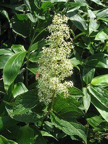 Tripterygium regelii httpsuploadwikimediaorgwikipediacommonsthu