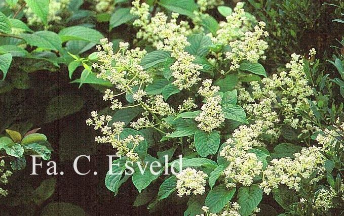 Tripterygium regelii Picture and description of Tripterygium regelii