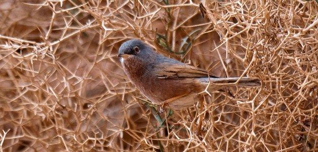 Tristram's warbler MOROCCO Birding Tours with LIMOSA HOLIDAYS spring birds Atlas amp desert