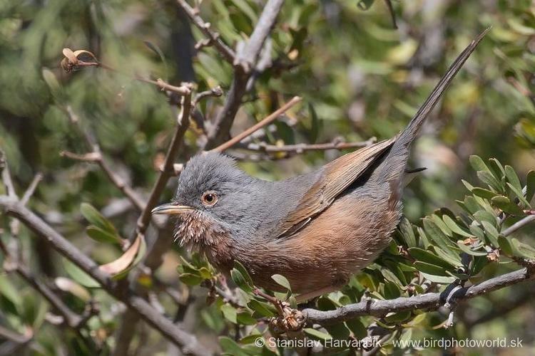 Tristram's warbler Tristram39s Warbler Sylvia deserticola videos photos and sound