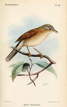 Tristram's warbler httpsuploadwikimediaorgwikipediacommonsthu