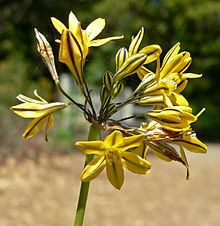 Triteleia lugens httpsuploadwikimediaorgwikipediacommonsthu