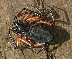 Trochanteriidae httpsuploadwikimediaorgwikipediacommonsthu