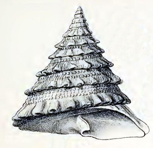 Trochus noduliferus