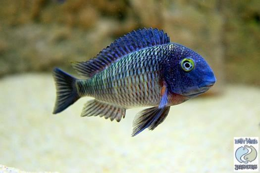 Tropheus 1000 images about Tropheus on Pinterest Pisces Cichlids and Rainbows