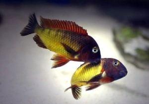 Tropheus Tropheus Moorii Ilangi Tropheus sp Ilangi Tropical Fish Site