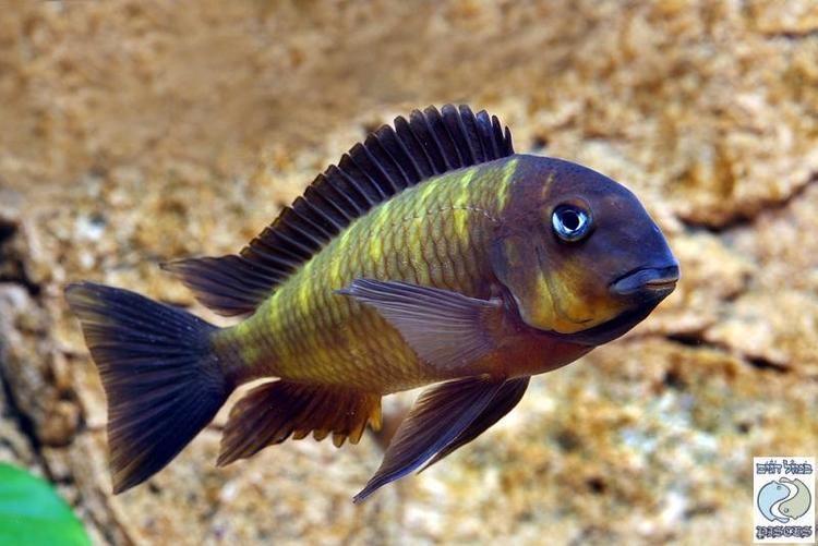 Tropheus 1000 images about Tropheus Cichlids on Pinterest Cichlids Search