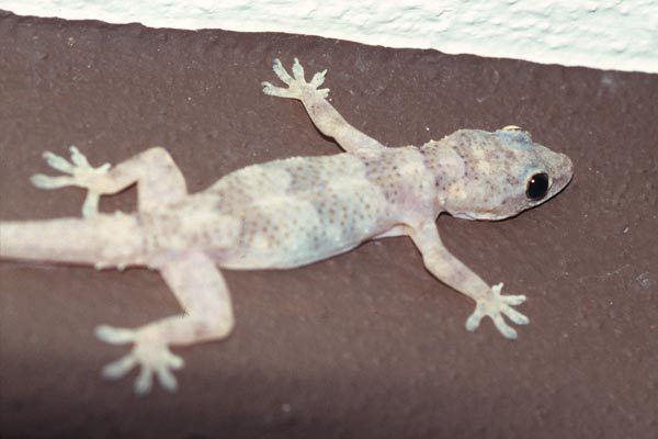 Tropical house gecko - Alchetron, The Free Social Encyclopedia