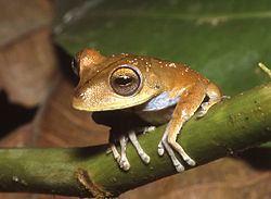 Troschel's tree frog httpsuploadwikimediaorgwikipediacommonsthu