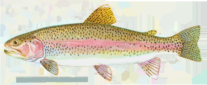 Trout troutrainbowpng