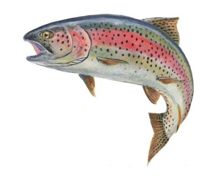 Trout brown trout tshirt Fish Trout amp Mahi Mahi Pinterest Trout
