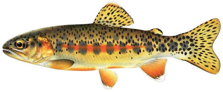 Trout Fish California Trout Inc