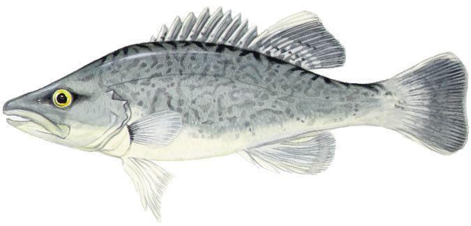 Trout Cod Alchetron The Free Social Encyclopedia