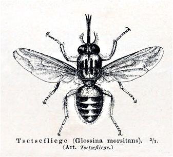 Tsetse fly httpsuploadwikimediaorgwikipediacommons55