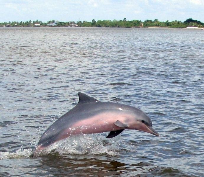 Tucuxi Tucuxi Dolphin quotOCEAN TREASURESquot Memorial Library