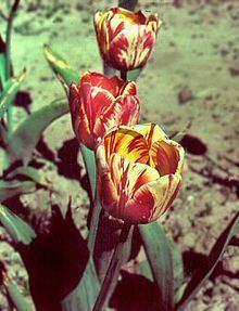 Tulip breaking virus httpsuploadwikimediaorgwikipediacommonsthu