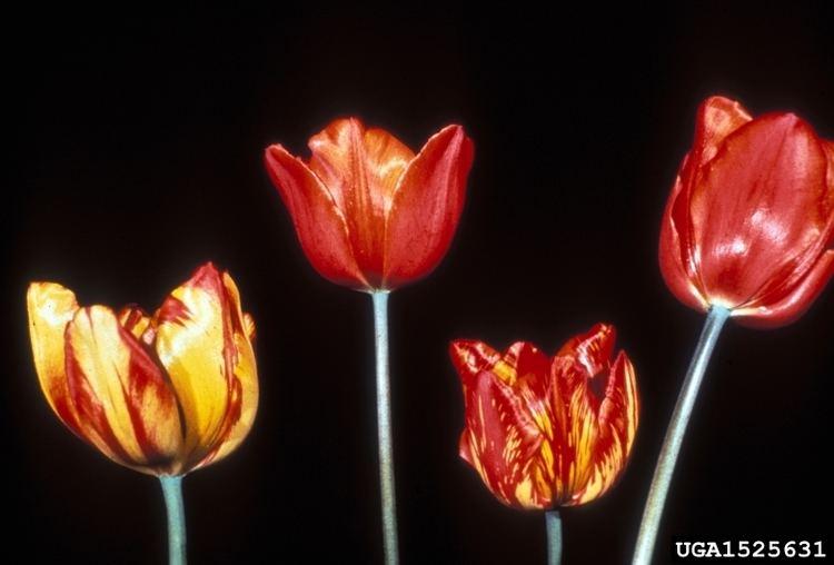 Tulip breaking virus Tulip Breaking Virus Potyvirus TBV on tulip Tulipa spp 1525631