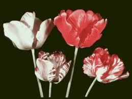 Tulip breaking virus WHAT IS THE TULIP BREAKING VIRUS The Garden of Eaden