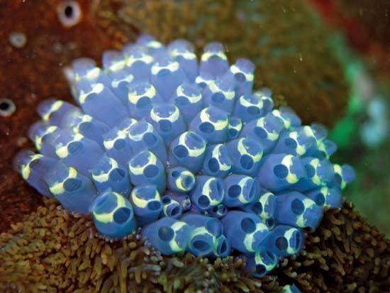 Tunicate tunicate chordate subphylum Britannicacom