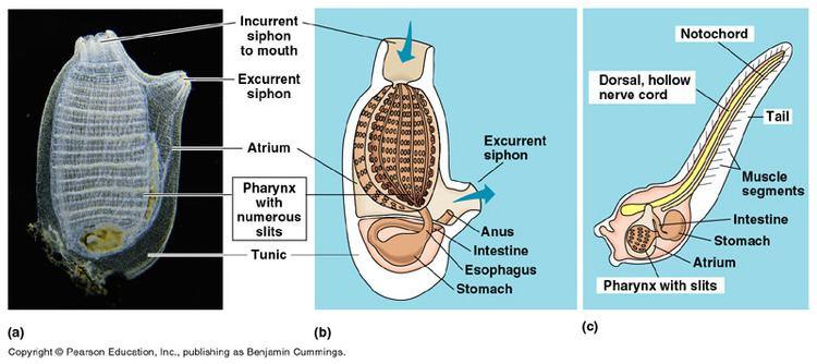 Tunicate Diagram