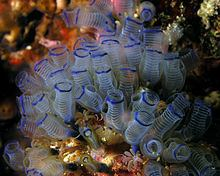 Tunicate httpsuploadwikimediaorgwikipediacommonsthu