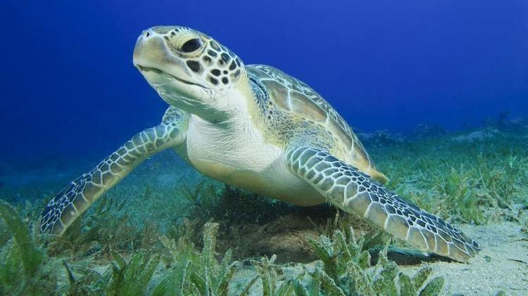 Turtle Green Sea Turtle