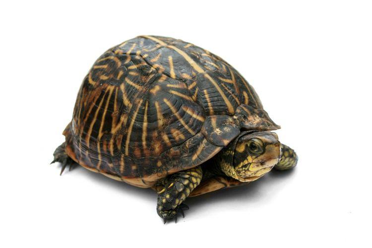Turtle Box turtle Wikipedia