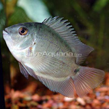 Uaru Tropical Fish for Freshwater Aquariums Uaru Cichlid
