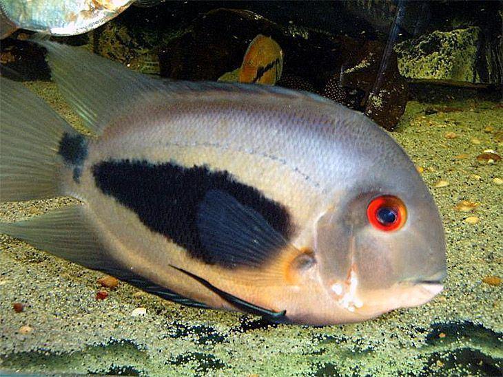 Uaru 10 images about uaru on Pinterest Planted aquarium Cichlids and