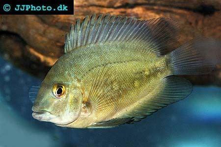 Uaru Uaru amphiacanthoides Profile with care maintenance requirements