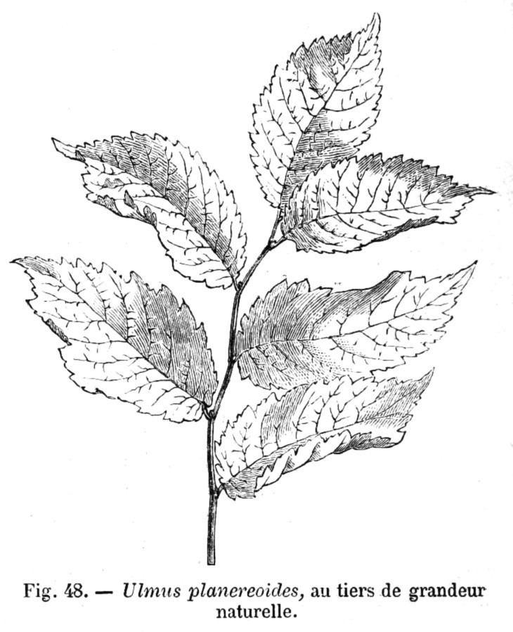 Ulmus 'Planeroides'