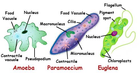 Unicellular organism imagestutorvistacomcmsimages123unicellularo