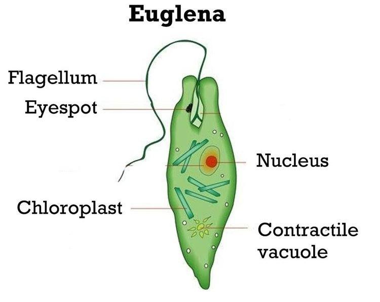 Unicellular organism Unicellular organisms Rumney Marsh Academy Science Revere