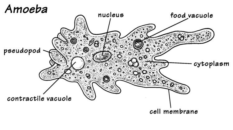 Unicellular organism This is a unicellular organism the amoeba which is made up of only